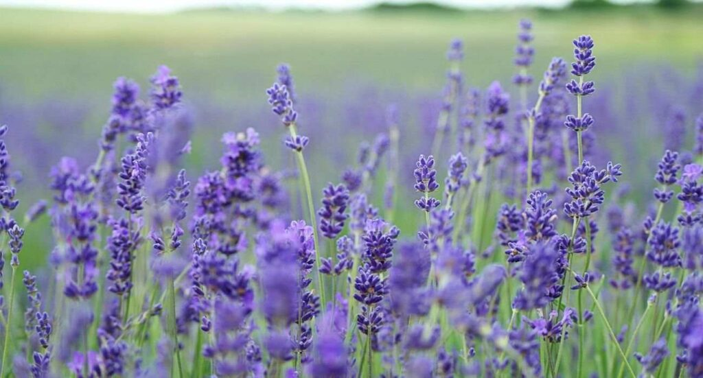 herbs-article-florazu-lavender